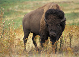 Wichita Wildlife Refuge Bison